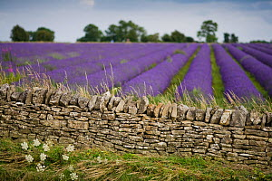 Cotswold stone wall with lavender fields, Snowshill Lavender Farm, Gloucestershire, UK, July 2008. - Nick Turner