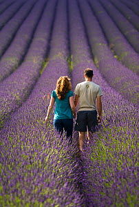 Couple walking through Lavender field, rear view,  Snowshill Lavender Farm, Gloucestershire, UK, July 2008.  -  Nick Turner