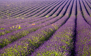 Lavender fields, Snowshill Lavender Farm, Gloucestershire, UK, July 2008.  -  Nick Turner