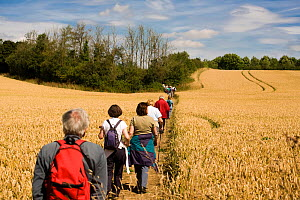 Cotswold Wardens walking along footpath through ripe wheat field,  Area of Outstanding Natural Beauty (AONB) at Eastleach Turville, Gloucestershire, UK, July 2008.  -  Nick Turner