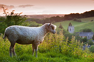 Cotswolds Lion rare breed sheep (Ovis aries) and the village of Naunton at sunset, Gloucestershire, UK, June 2001.  -  Nick Turner
