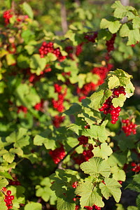 Redcurrant plant with ripe fruit (Ribes rubrum) UK, June.  -  Nick Turner