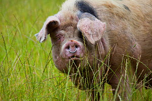 Gloucester old spot domestic pig (Sus scrofa domestica) portrait with ring in nose, UK. - Nick Turner