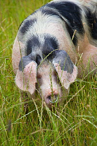 Freerange Gloucester old spot domestic pig (Sus scrofa domestica) portrait with ears covering eyes, UK.  -  Nick Turner