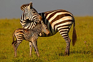 Burchell's Zebra (Equus quagga) mother with new born foal. Masai Mara, Kenya. - Andy Rouse