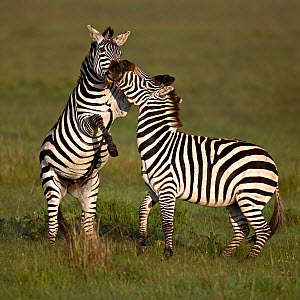 Two Common Zebra (Equus quagga) fighting. Masai Mara, Kenya. - Andy Rouse