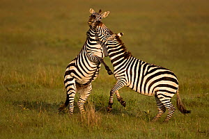 RF- Two Common Zebra (Equus quagga) fighting. Masai Mara, Kenya. (This image may be licensed either as rights managed or royalty free.) - Andy  Rouse