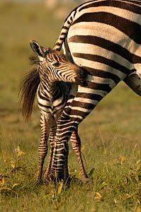 Burchell's Zebra (Equus quagga) foal hiding under its mother's tail. Masai Mara, Kenya. - Andy Rouse