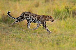 African Leopard (Panthera pardus) searching for prey. Masai Mara, Kenya. - Andy Rouse