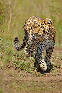 African Leopard (Panthera pardus) 'Olive' searching for prey. Masai Mara, Kenya. - Andy Rouse