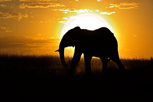 African Elephant (Loxodonta africana) bull silhouetted against setting sun. Masai Mara, Kenya, Africa.  -  Andy Rouse