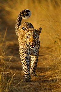 African Leopard (Panthera pardus) 'Bahati', daughter of 'Olive', walking on path growling at photographer. Masai Mara, Kenya, Africa. - Andy Rouse