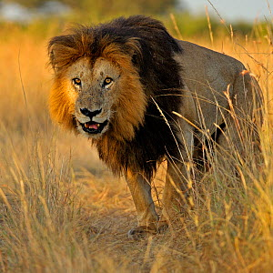 African Lion (Panthera leo) 'Notch', star of Disney's African Cats, in grass. Masai Mara, Kenya, Africa. - Andy Rouse