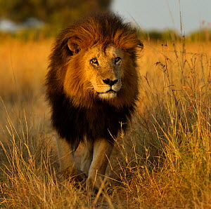 Portrait of African Lion (Panthera leo) 'Notch', star of Disney's African Cats. Masai Mara, Kenya, Africa. - Andy Rouse