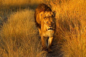 African Lion (Panthera leo) 'Notch', star of Disney's African Cats with females. Masai Mara, Kenya, Africa. - Andy Rouse