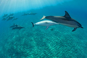 Hawaiian / Gray's / Long-Snouted Spinner Dolphins (Stenella longirostris longirostris) with mother and young calf. Keauhou, Kona, Hawaii, Central Pacific Ocean.  -  Doug Perrine