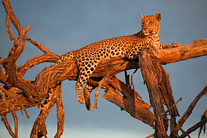 Leopard (Panthera pardus) relaxing on tree branches in evening sun, Okavango Delta, Botswana - Sergey Gorshkov