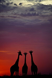 Giraffe (Giraffa camelopardalis) three standing together, silhouetted at dusk, Okavango Delta, Botswana - Sergey Gorshkov