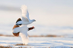 Willow grouse / ptarmigan (Lagopus lagopus) pair in flight, Agapa River, Taimyr Peninsula, Siberia, Russia - Sergey Gorshkov