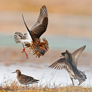 Ruffs displaying and fighting (Philomachus pugnax) Agapa River, Taimyr Peninsula, Siberia, Russia - Sergey Gorshkov