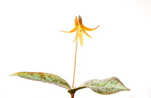 Trout lily (Erythronium americanum) in flower, Greenville, USA, March. meetyourneighbours.net project  -  MYN / Clay Bolt