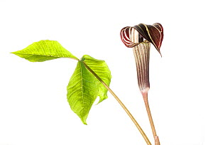 Jack-in-the-pulpit (Arisaema triphyllum) in flower, Greenville, USA, March.meetyourneighbours.net project  -  MYN / Clay Bolt