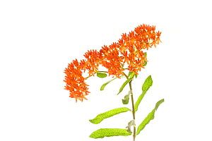 Butterfly weed (Asclepias tuberosa) in flower, Pickens County, South Carolina, USA, July. meetyourneighbours.net project - MYN / Clay Bolt