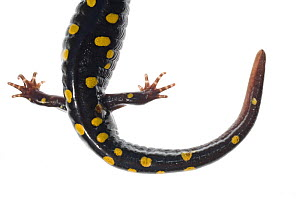 Close up of tail of Spotted Salamander (Ambystoma maculatum), North Carolina, USA, September, meetyourneighbours.net project  -  MYN / Clay Bolt