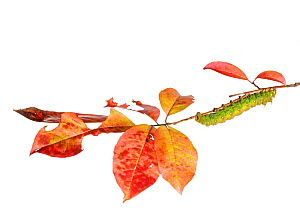 Imperial Moth Caterpillar (Eacles imperialis) - MYN / Clay Bolt