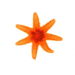 Seven armed starfish (Luidia ciliaris) from rocky shore, County Clare, Ireland, August.  meetyourneighbours.net  project  -  MYN / Carsten Krieger