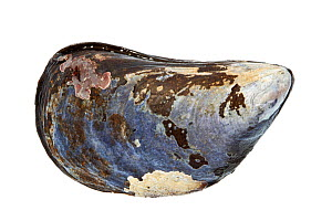 Blue mussel (Mytilus edulis) shell, Rye, New Hampshire, USA, September. meetyourneighbours.net project  -  MYN / Jerry Monkman