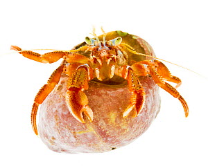 Acadian hermit crab (Pagurus acadianus) emerging from shell, Rye, New Hampshire, USA, January. meetyourneighbours.net project  -  MYN / Jerry Monkman