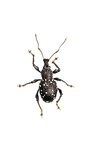 Scopoli's weevil (Otiorhynchus gemmatus), Slovenia, Europe, July.  meetyourneighbours.net project - MYN / Marko Masterl