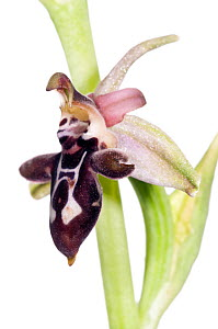 Ariadne's Ophrys orchid (Ophrys ariadne) a tall-stemmed variant of the Cretan Ophrys (Ophrys cretica), Plakias, Crete, Greece, April.  meetyourneighbours.net project  -  MYN / Paul Harcourt Davies