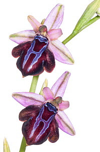 Spruner's Ophrys orchid (Ophrys spruneri) an orchid endemic to Southern Greece with a wide distribution. Has same pollinator as (Ophrys sipontensis) in Gargano, Southern Italy that has effected parall...  -  MYN / Paul Harcourt Davies
