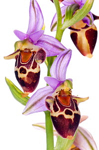 Heldreich's Ophrys orchid (Ophrys heldreichii) a striking species of orchid found in Southern Greece and the islands, Plakias, Crete, Greece, April.  meetyourneighbours.net project  -  MYN / Paul Harcourt Davies