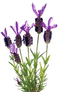 French lavender (Lavandula stoechas) a scented bush that can cover large areas particularly on volcanic soils, Italy, May.  meetyourneighbours.net project  -  MYN / Paul Harcourt Davies