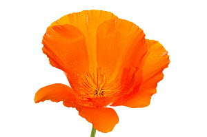 California poppy (Eschscholzia californica) the national flower of California naturalised in areas of Europe, Italy, June.  meetyourneighbours.net project  -  MYN / Paul Harcourt Davies