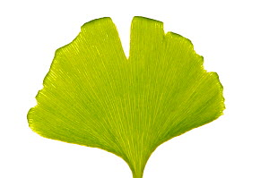 Ginkgo / Maidenhair tree (Ginkgo biloba) leaves, of medicinal value as a vasodilator, Italy, May).  meetyourneighbours.net project  -  MYN / Paul Harcourt Davies