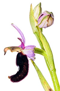 Bertoloni's Ophrys orchid (Ophrys bertolonii) locally frequent in Southern Italy, Torre Alfina, Italy, May.  meetyourneighbours.net project  -  MYN / Paul Harcourt Davies