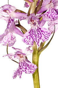 Common spotted orchid (Dactylorhiza fuchsii)  Italy, May, focus-stack-composite image.  meetyourneighbours.net project  -  MYN / Paul Harcourt Davies