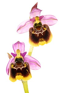 Ophrys orchid (Ophrys x maremmae) a natural hybrid between (Ophrys fuciflora) and Ophrys tenthredinifera) occasionally found where both species are present together, Umbria, Italy, May.  focus-stack-c...  -  MYN / Paul Harcourt Davies