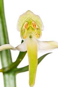 Greater butterfly orchid (Platanthera chlorantha) Italy, May.  meetyourneighbours.net project  -  MYN / Paul Harcourt Davies