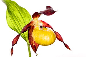 Lady's slipper orchid (Cypripedium calceolus) one of the rarest and loveliest of all European orchids protected everywhere, Abruzzo, Italy, June.  meetyourneighbours.net project  -  MYN / Paul Harcourt Davies