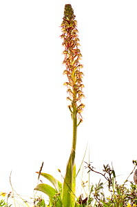 Man orchid (Orchis / Aceras anthrophorum) a widespread Mediterranean and European species, Italy, June.  meetyourneighbours.net project  -  MYN / Paul Harcourt Davies