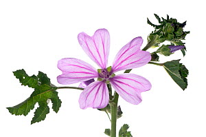Small tree / Cretan mallow (Lavatera cretica) plant of southern Europe, common on waste ground and roadsides, rare in UK, Italy, June.  meetyourneighbours.net project  -  MYN / Paul Harcourt Davies