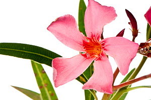 Oleander (Nerium oleander) often planted at roadsides and in parks throughout the Mediterranean, Italy, June.  meetyourneighbours.net project  -  MYN / Paul Harcourt Davies