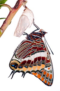 Two-tailed pasha butterfly (Charaxes jasius) butterfly recently emerged from chrysalis, emergence sequence 8/15, Umbria, Italy, August .  meetyourneighbours.net project  -  MYN / Paul Harcourt Davies