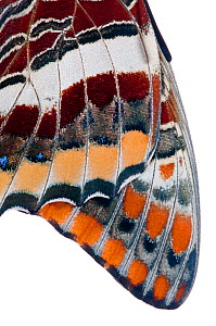 Two-tailed pasha butterfly (Charaxes jasius) close up of wings of butterfly recently emerged from chrysalis, emergence sequence 10/15, Umbria, Italy, August.  meetyourneighbours.net project  -  MYN / Paul Harcourt Davies