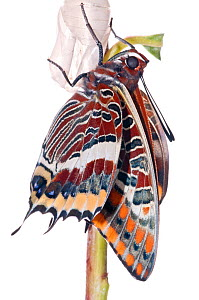 Two-tailed pasha butterfly (Charaxes jasius) butterfly recently emerged from chrysalis, inflating wings, emergence sequence 13/15, Umbria, Italy, August.  meetyourneighbours.net project  -  MYN / Paul Harcourt Davies